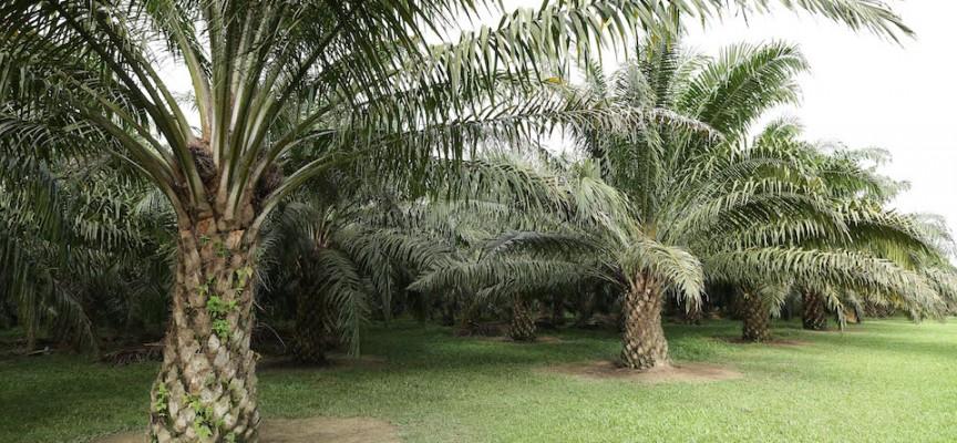 Olio di palma e cenni storici le origini dell olio di palma - Storia di palma domenica ks1 ...